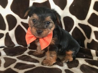 Yorkshire Terrier Puppy for sale in NEW PROVIDENCE, PA, USA