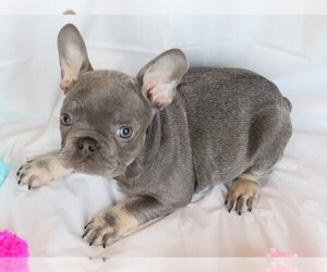 French Bulldog Puppy for Sale in BELLE CENTER, Missouri USA
