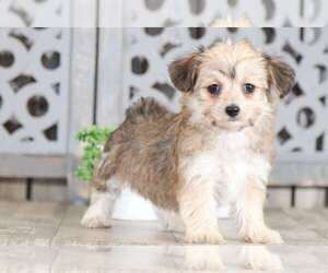 Yorkshire Terrier Puppy for Sale in MOUNT VERNON, Ohio USA