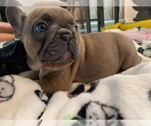 French Bulldog Puppy for sale in PORT ORANGE, FL, USA