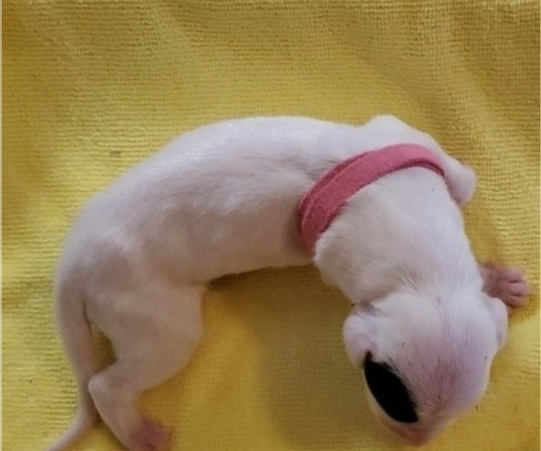 Medium Photo #5 Dogo Argentino Puppy For Sale in KATY, TX, USA