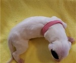 Small Photo #5 Dogo Argentino Puppy For Sale in KATY, TX, USA