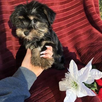 Havashire puppy