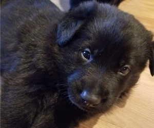 German Shepherd Dog Puppy for Sale in FDL, Wisconsin USA