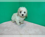 Puppy 4 Cavalier King Charles Spaniel-Poodle (Standard) Mix
