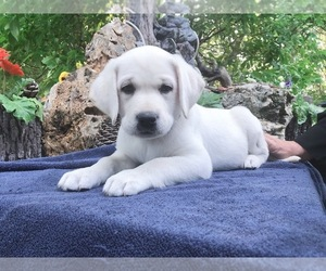 Labrador Retriever Puppy for Sale in PRINCETON, Minnesota USA