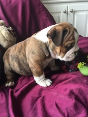 Bulldog Puppy For Sale in GREAT FALLS, SC