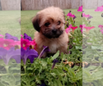 Small #7 Morkie
