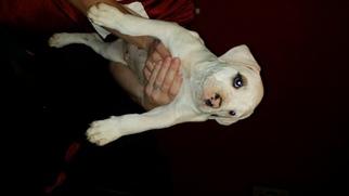 American Bulldog Puppy For Sale in GRACEVILLE, FL