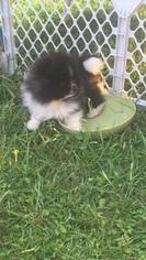Pomeranian Puppy For Sale in SAN ANTONIO, TX