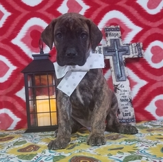 Great Dane Puppy For Sale in NEW HAVEN, IN, USA