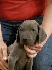Weimaraner Puppy For Sale in BERESFORD, SD, USA