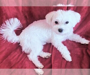 Father of the Maltese puppies born on 04/07/2021