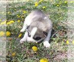 Small Siberian Husky