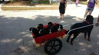 Bernese Mountain Dog Puppy For Sale in BRADENTON, FL