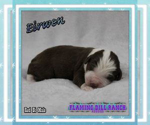 Miniature Australian Shepherd Puppy for sale in FORESTBURG, TX, USA