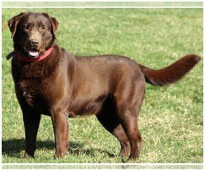 Father of the Labrador Retriever puppies born on 05/16/2020