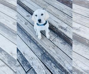Labrador Retriever Puppy for Sale in HOPE MILLS, North Carolina USA
