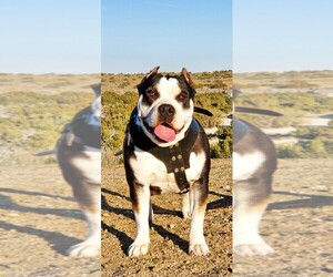 Mother of the American Bully puppies born on 10/26/2020