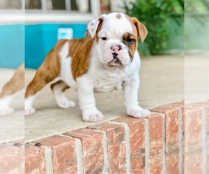 English Bulldog Puppy for Sale in LOCKESBURG, Arkansas USA