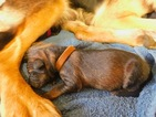 Beautiful AKC German Shepherd Puppies