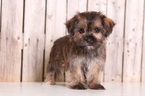 Milly Female Shorkie