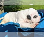 Small #12 American Bulldog