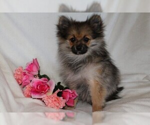 Pomeranian Puppy for Sale in PLATTE CITY, Missouri USA