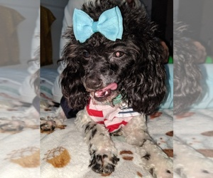 Poodle (Toy)-Shih Tzu Mix Puppy for sale in BELLEVUE, TN, USA