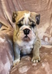 English Bulldog Puppy For Sale in CHARLESTON, SC, USA