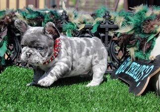 View Ad: French Bulldog Puppy for Sale near California