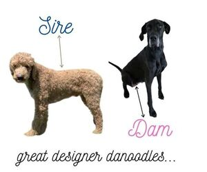 Mother of the Great Dane-Poodle (Standard) Mix puppies born on 07/23/2020