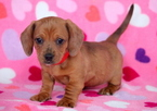 Dachshund Puppy For Sale in MOUNT JOY, PA,