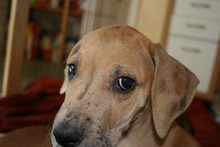 Great Dane Puppy For Sale in LEHI, UT, USA