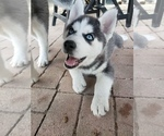 Siberian Husky Puppy For Sale in NEW LENOX, IL, USA