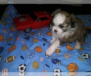 Maltese Puppy for Sale in LEXINGTON, Kentucky USA