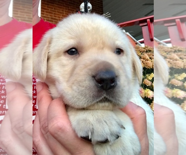 Medium Photo #1 Labrador Retriever Puppy For Sale in WEST JEFFERSON, OH, USA