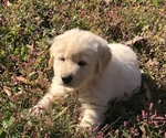 Small #1 Golden Pyrenees
