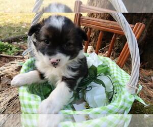 Australian Shepherd Puppy for sale in NEWAYGO, MI, USA