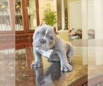 Small Photo #5 American Bully-American Pit Bull Terrier Mix Puppy For Sale in DRACUT, MA, USA