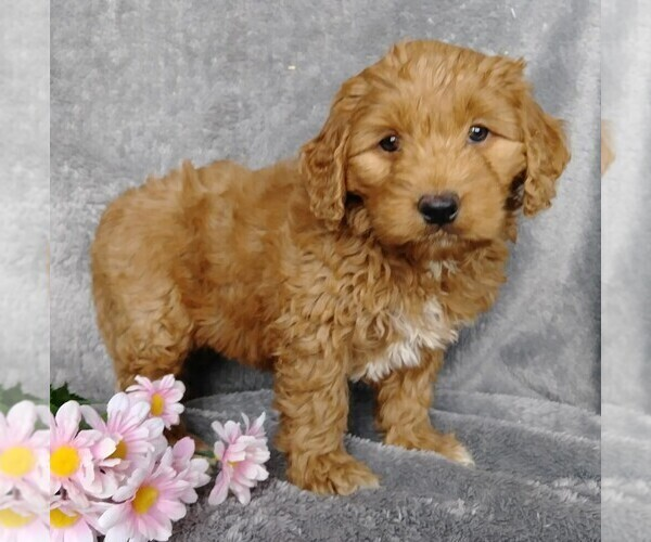 View Ad: Labradoodle-Poodle (Miniature) Mix Puppy for Sale In Poland