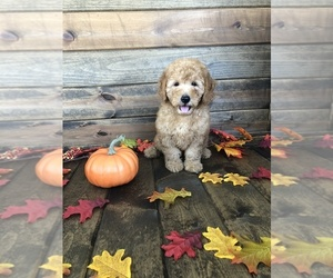 Goldendoodle-Poodle (Miniature) Mix Puppy for sale in BELVIDERE, IL, USA