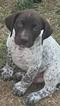 12 German Shorthaired Pointer Puppies