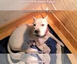 Small #7 Dogo Argentino