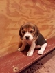 Beagle Puppy For Sale in LINCOLN, Texas,
