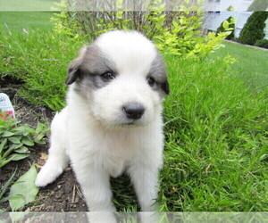Old English Sheepdog Puppy for sale in HUDSON, MI, USA