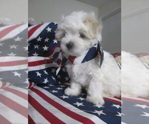 Maltese Puppy for sale in HARVEST, AL, USA