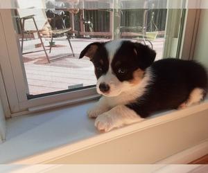 Pembroke Welsh Corgi Puppy for sale in NOKESVILLE, VA, USA