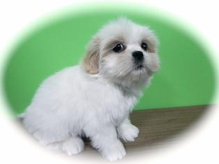 Zuchon Puppy For Sale in HAMMOND, IN