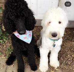 Mother of the Sheepadoodle puppies born on 01/08/2019